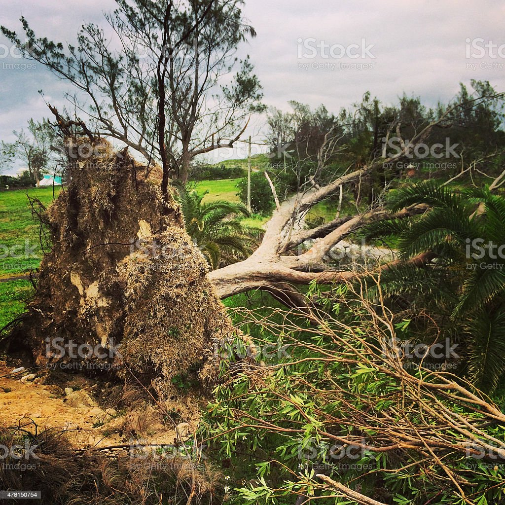 Fallen Palm tree after hurricane, Bermuda stock photo