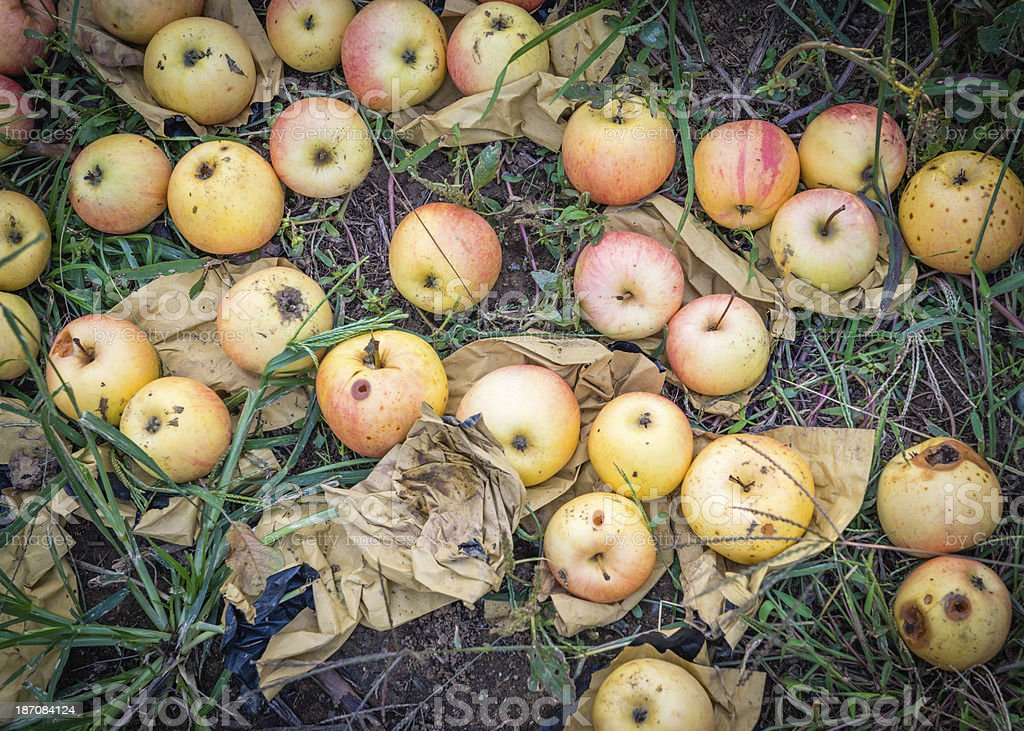 Fallen red apples royalty-free stock photo
