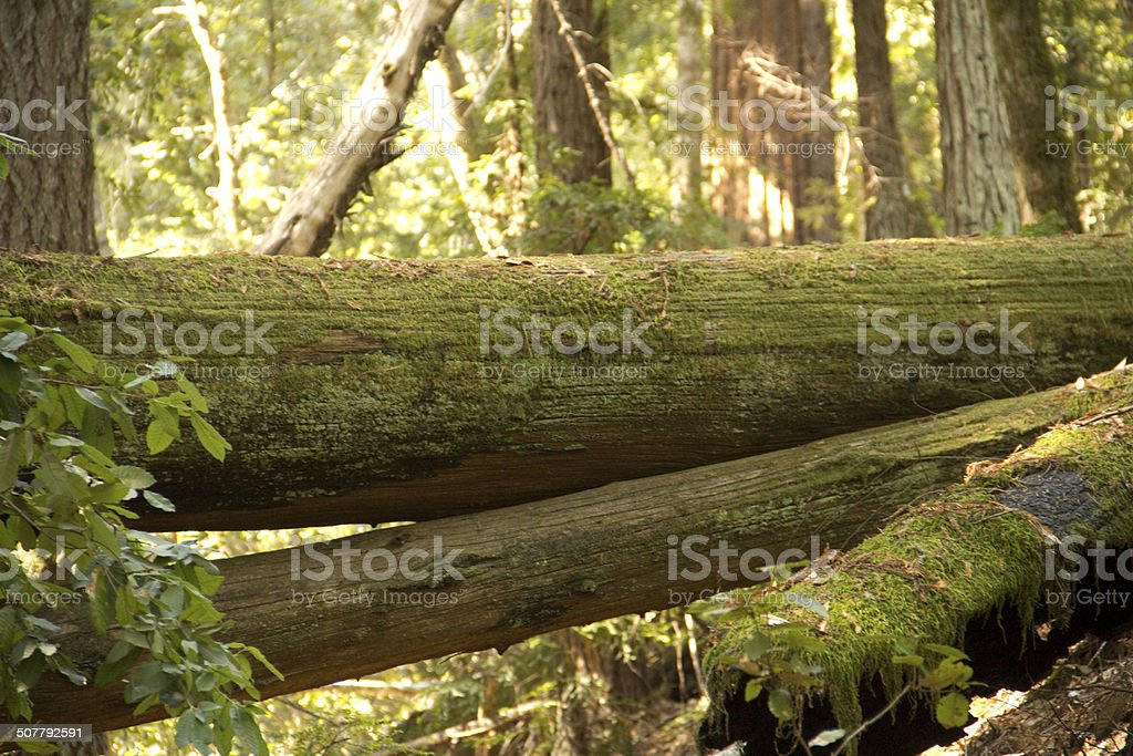 Fallen redwood covered in moss stock photo