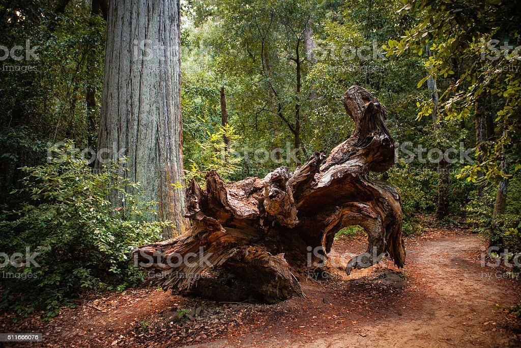 Fallen Redwood, The Redwood Nature Trail, Big Basin State Park royalty-free stock photo