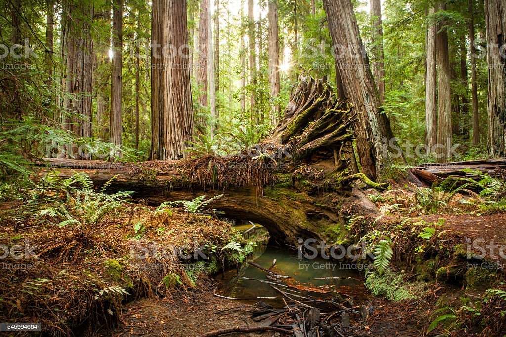 Fallen Redwood Tree, Montgomery Woods State Natural Reserve, California stock photo