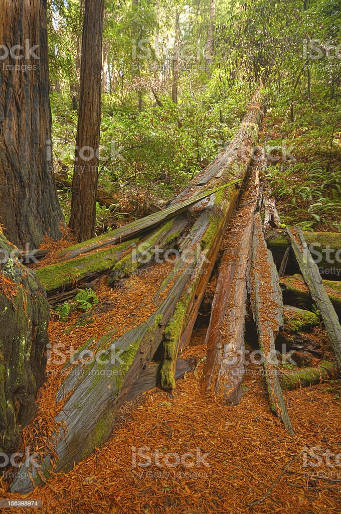 Fallen redwood tree on ground royalty-free stock photo