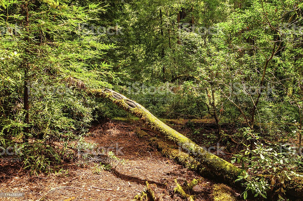 Fallen Sequoia Tree in Big Basic Redwoods State Park royalty-free stock photo