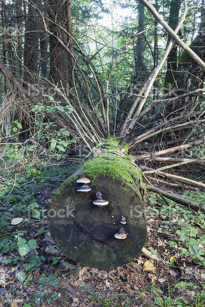 Fallen spruce tree royalty-free stock photo