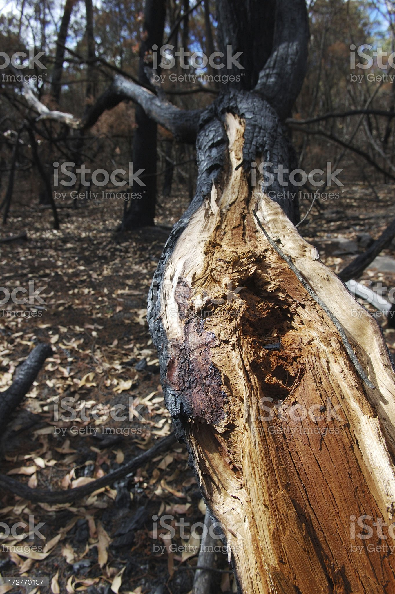 Fallen tree after a fire royalty-free stock photo