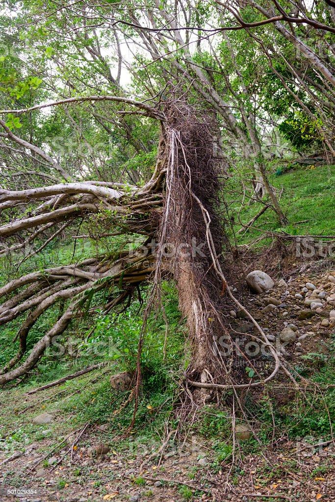 Fallen tree after typhoon stock photo