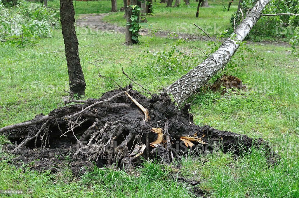 fallen tree after  windy storm stock photo