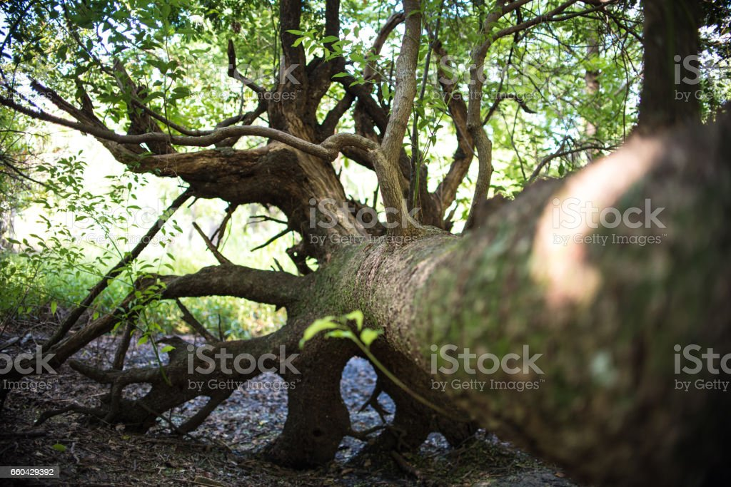 Fallen Tree and Tree Roots stock photo