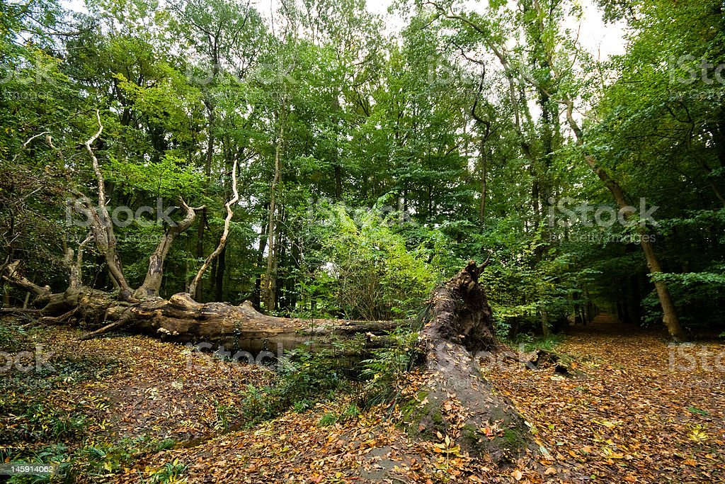 Fallen tree in autumn forest royalty-free stock photo