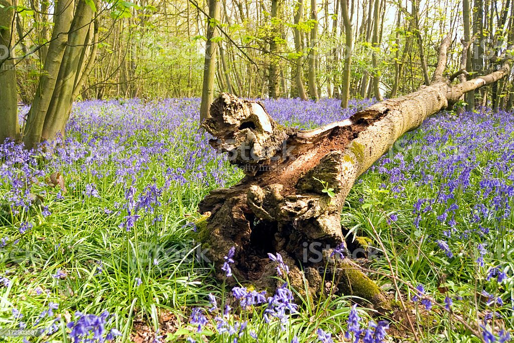 Fallen tree in bluebell woods. royalty-free stock photo