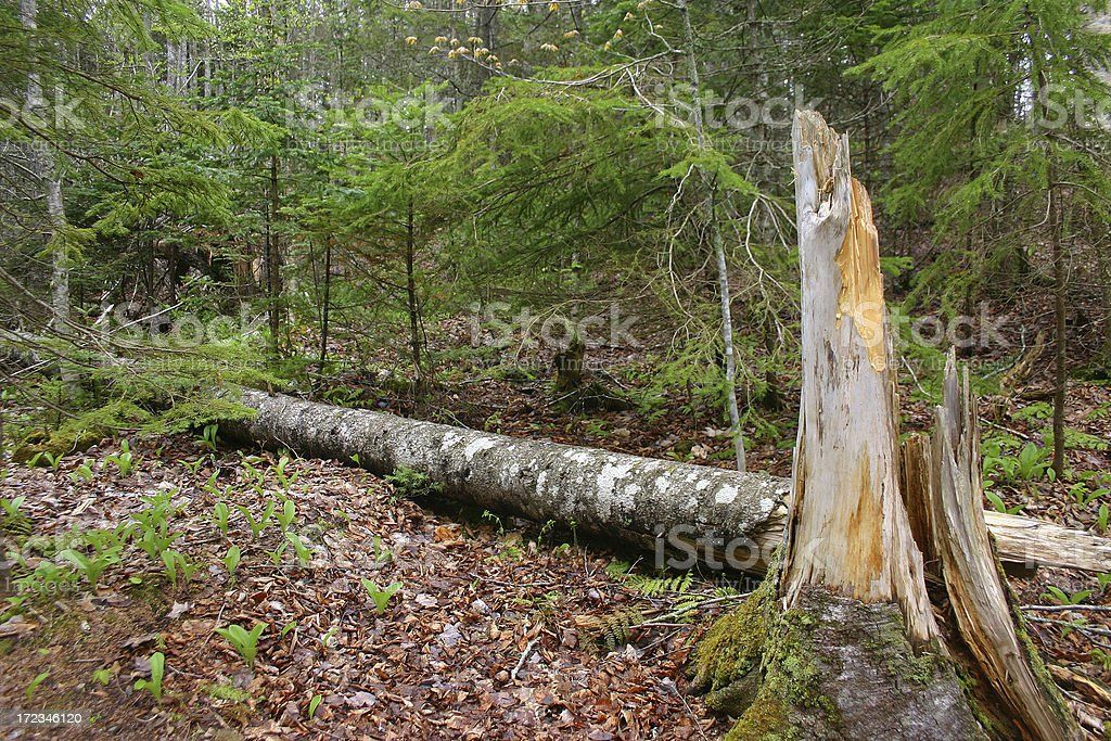 A fallen tree lays on a green and lush forest floor stock photo