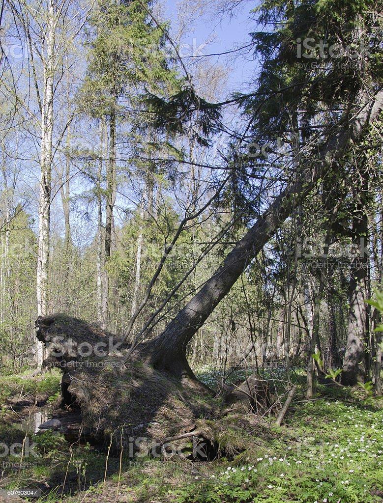 Árvore caída foto de stock royalty-free
