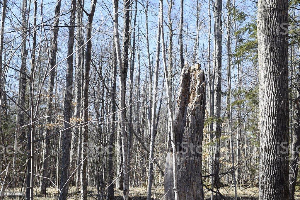Fallen Tree Stump in the woods stock photo