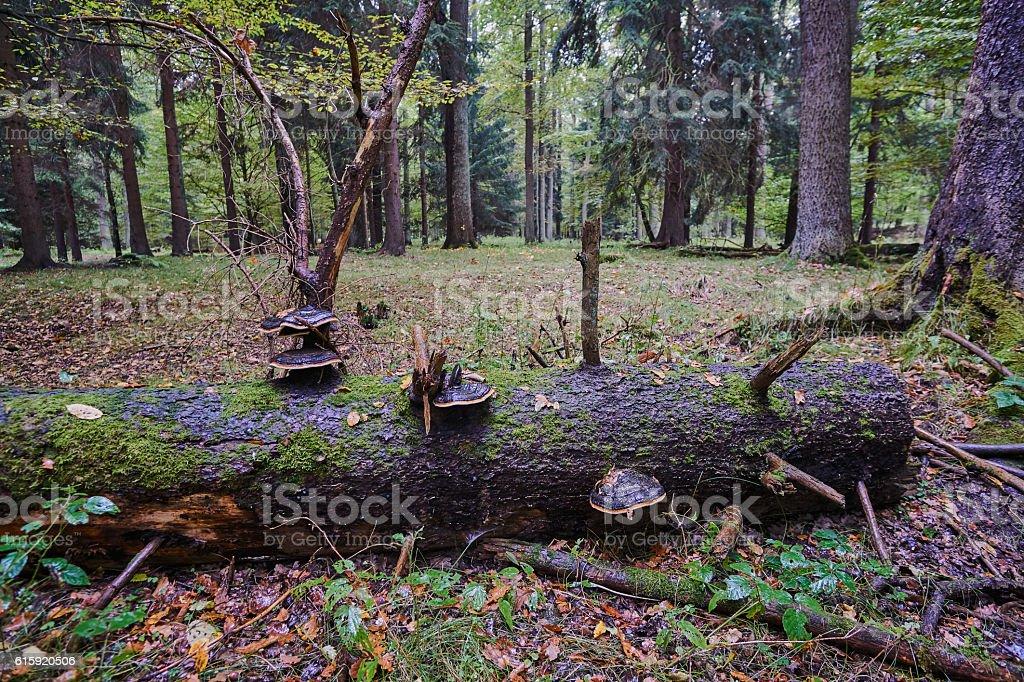 Fallen tree trunk overgrown hub stock photo