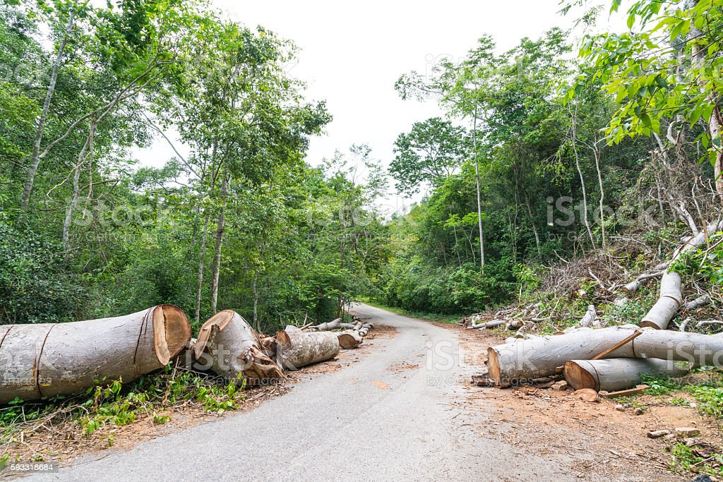 Fallen trees cut to clear path for road through rainforest stock photo