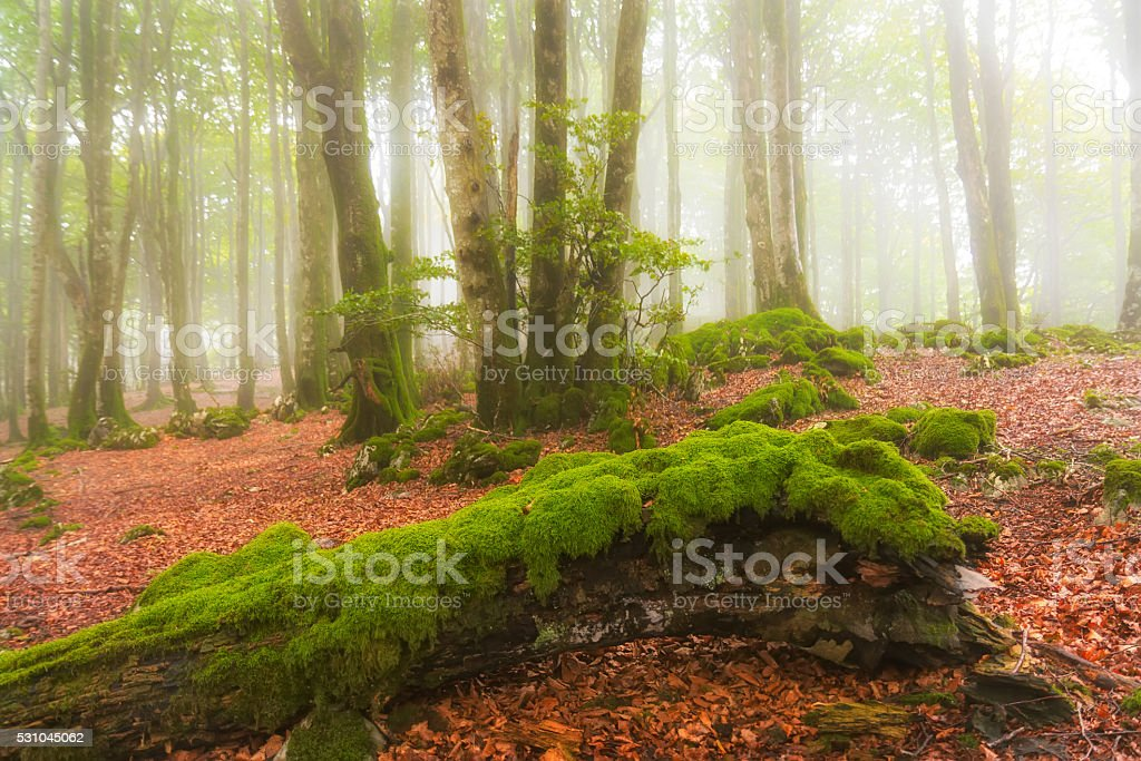 Fallen trees in a foggy green forest stock photo