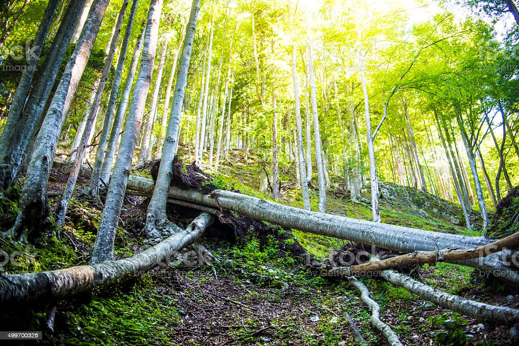 Fallen trees in forest stock photo