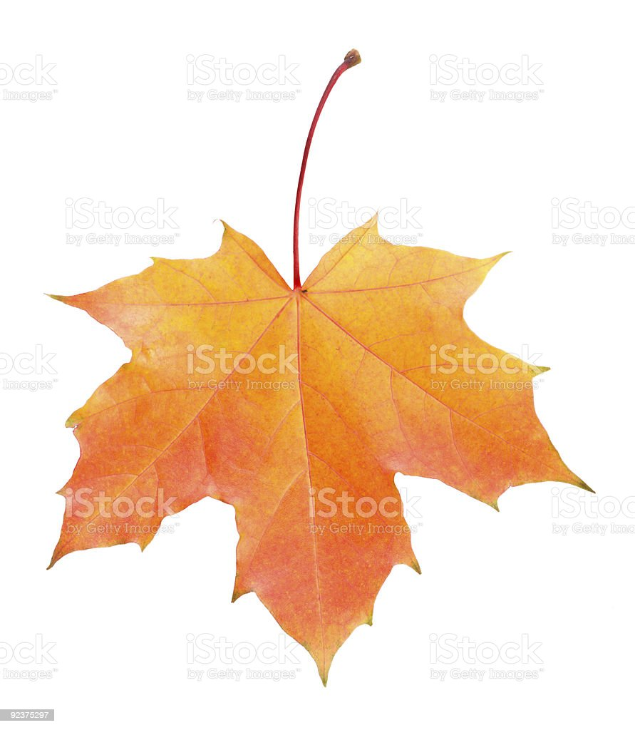 fallen yellow and red maple leaf isolated royalty-free stock photo