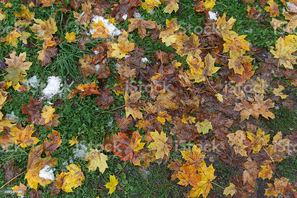 Fallen yellow leaves, green grass and snow. Off-season stock photo