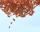 Falling autumn leaves, red maples with blue sky background.