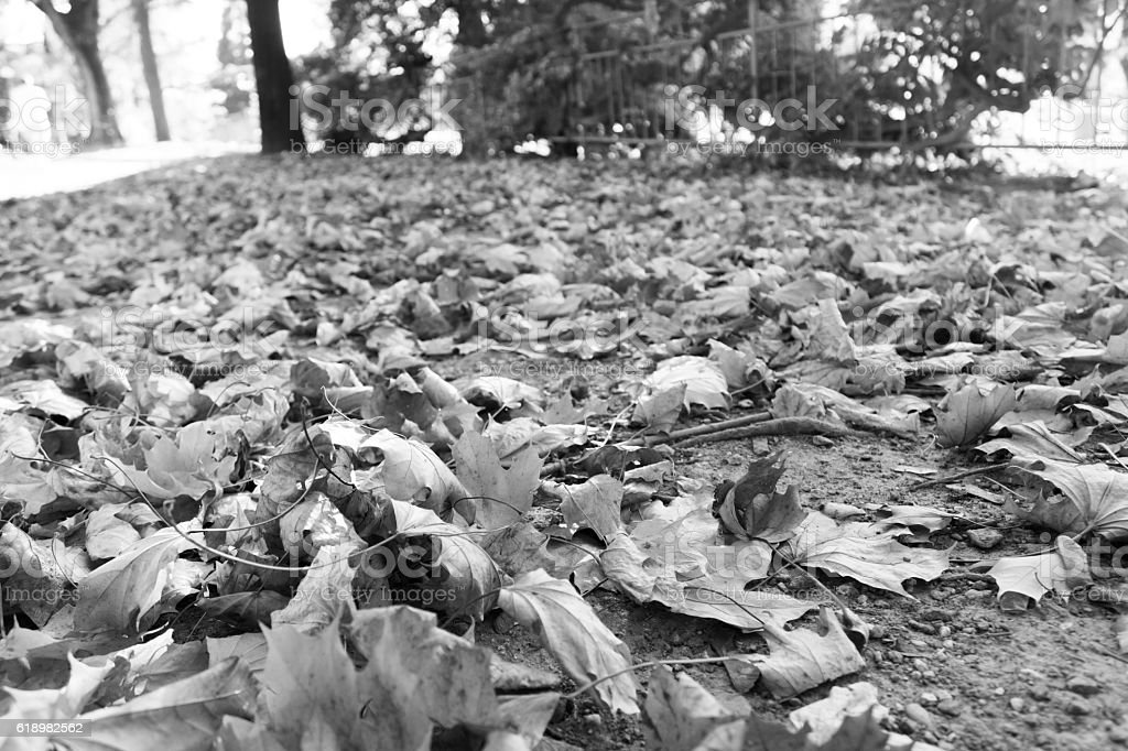 Falling leaves, black and white photo stock photo