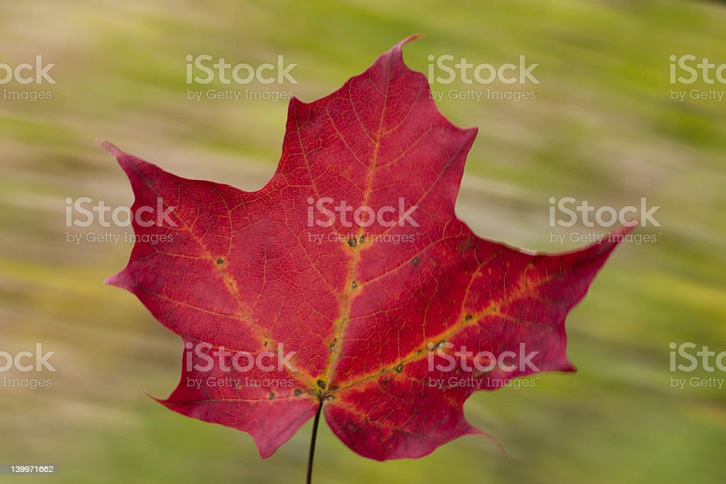 falling maple leaf royalty-free stock photo