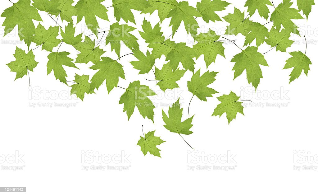 Falling maple leaves (XXL) royalty-free stock photo