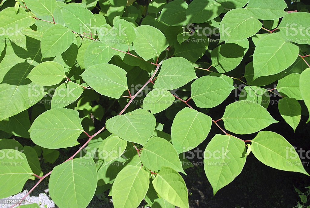 Fallopia japonica - characteristic leaves royalty-free stock photo