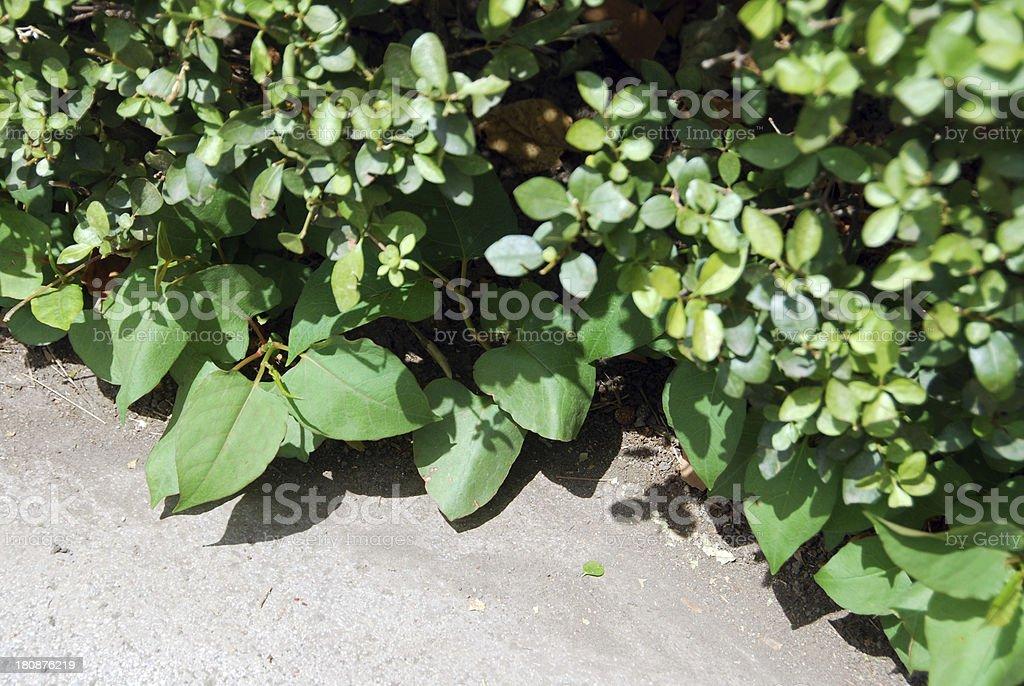 Fallopia penetrates through hedgerow royalty-free stock photo