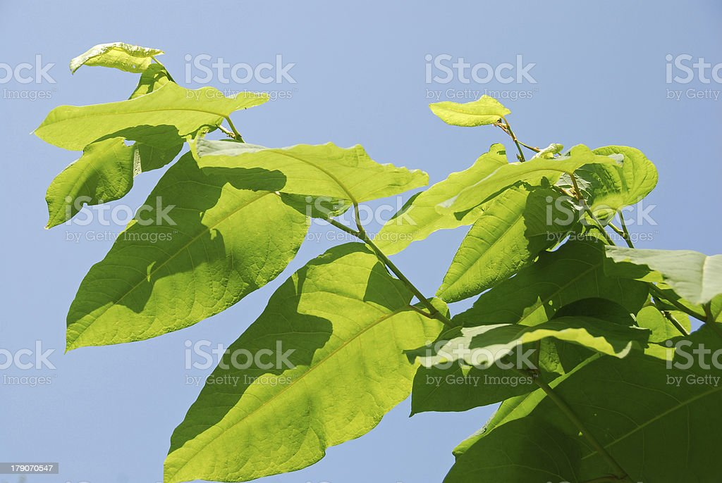 Fallopia sachalinensis royalty-free stock photo