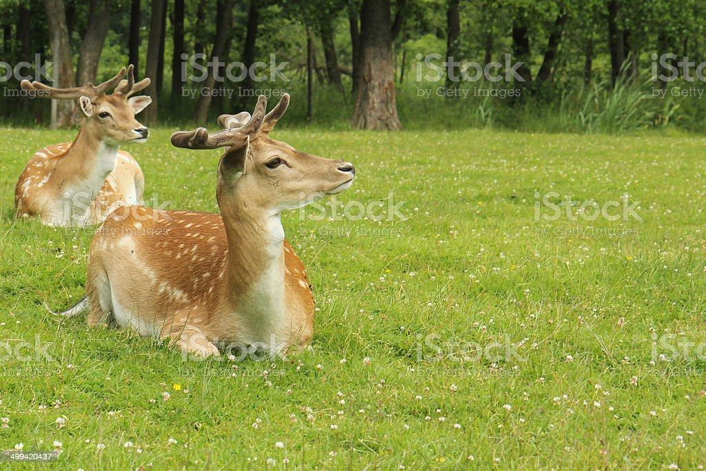 Fallow Deer buck (Dama dama) in forest royalty-free stock photo