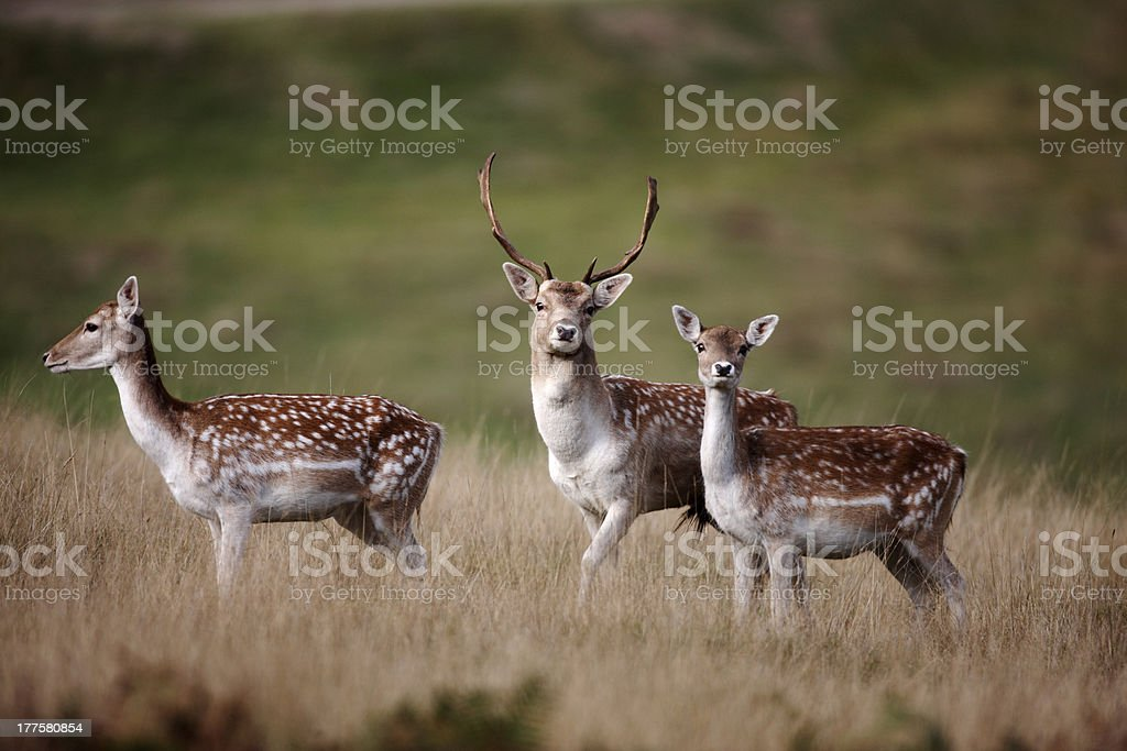 Fallow deer, Dama stock photo