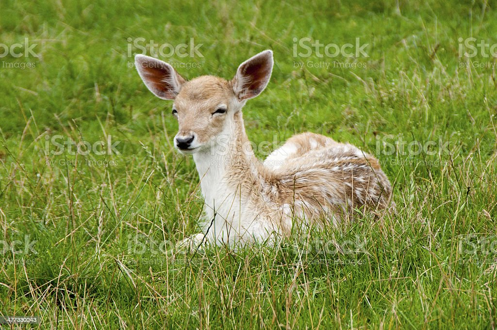 Fallow Deer Fawn in grass royalty-free stock photo