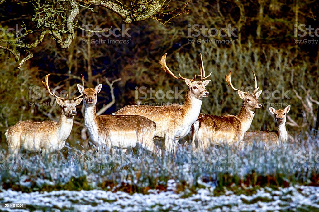 Fallow deer grazing on the winter vegetation stock photo