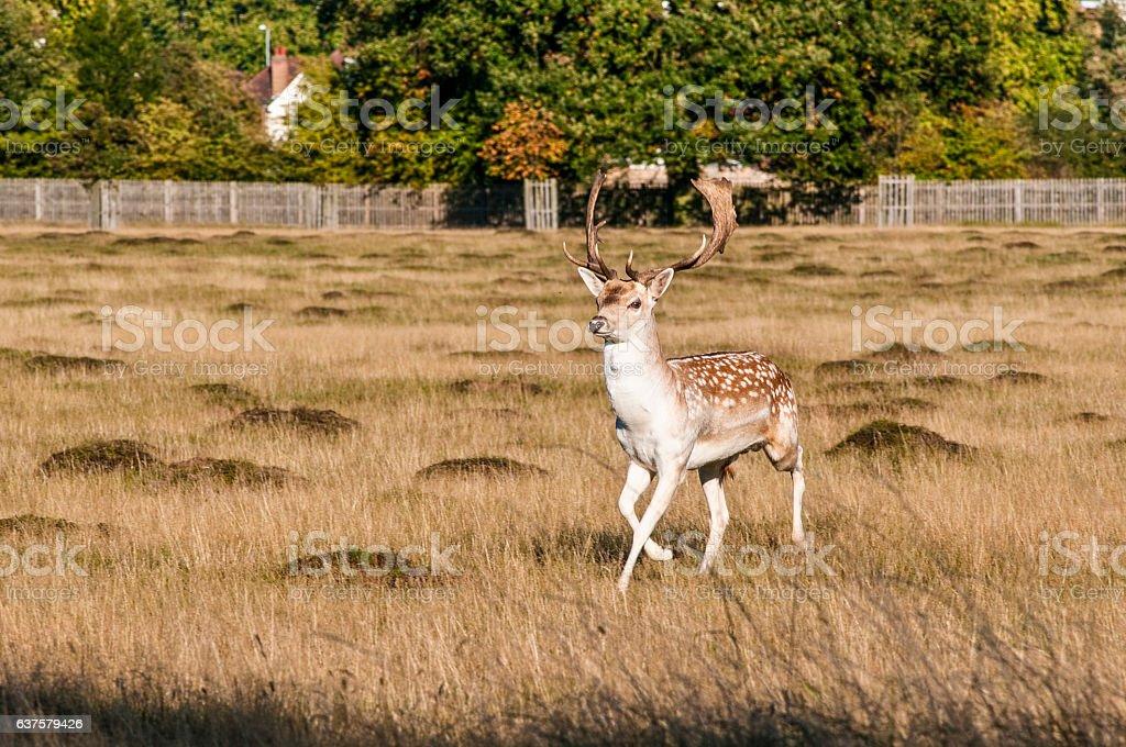 Fallow Deer Home Park Surrey England United Kingdom Royalty Free Stock