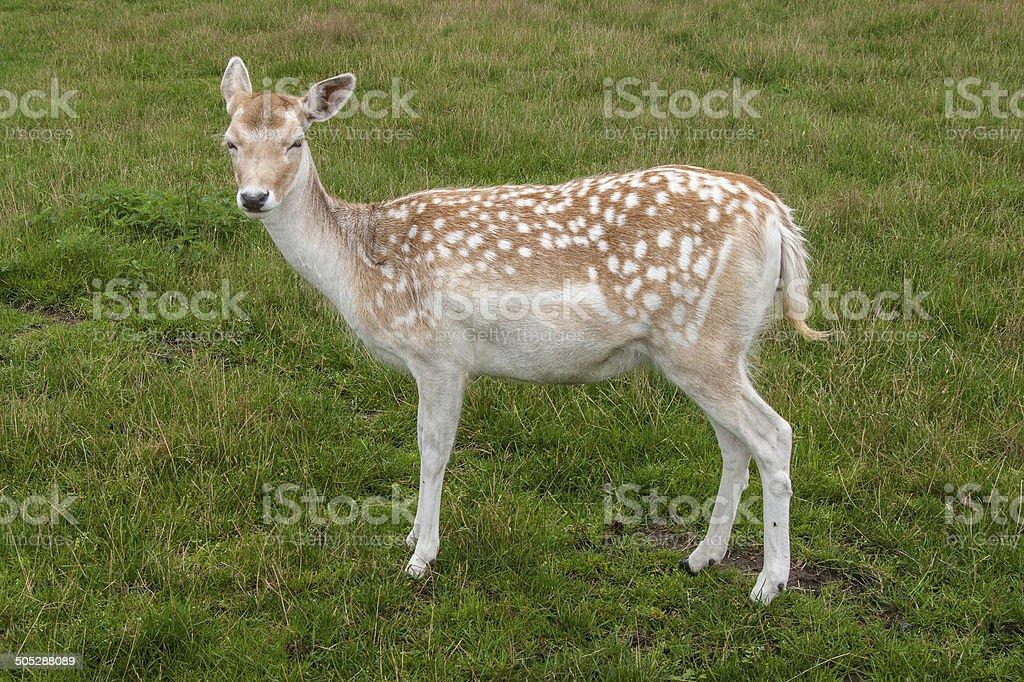 Fallow Deer in field royalty-free stock photo
