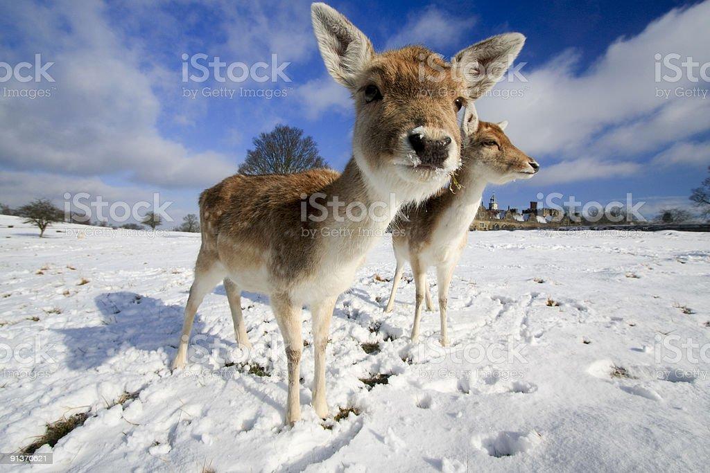 Fallow Deer in Kent, England royalty-free stock photo