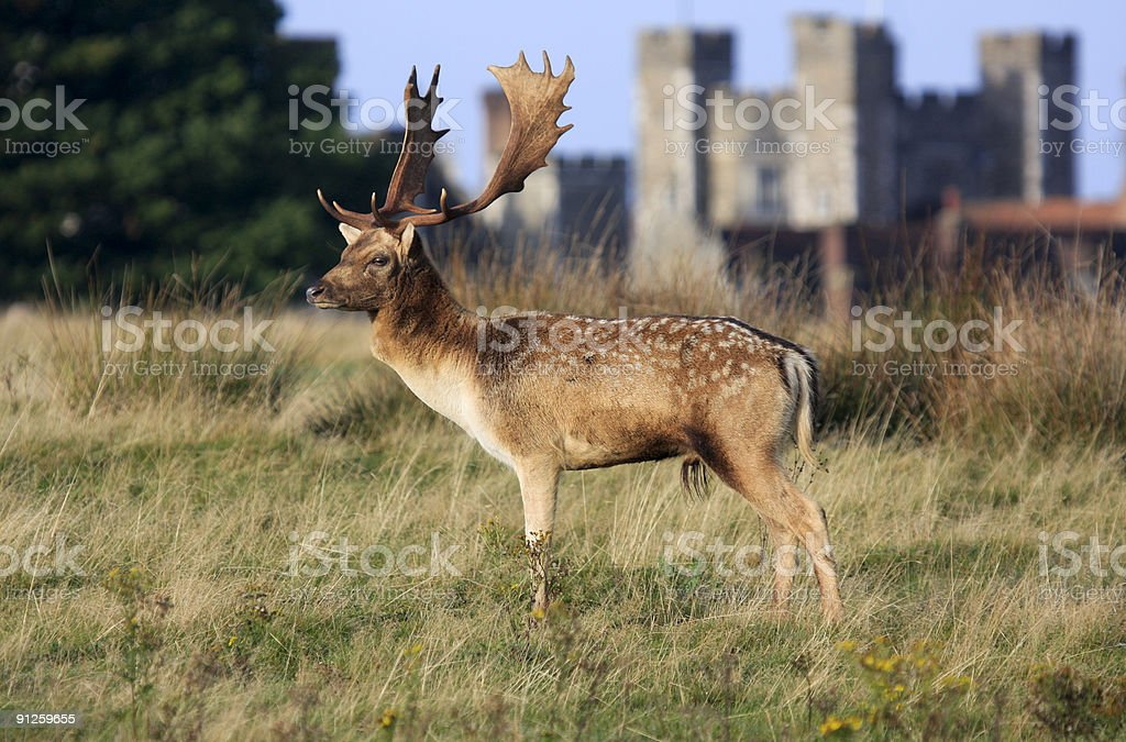 Fallow Deer in Knole Park, England stock photo