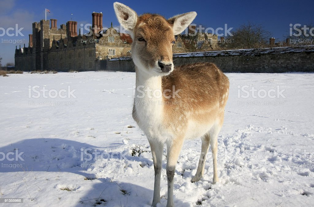 Fallow Deer in Knole Park, England royalty-free stock photo