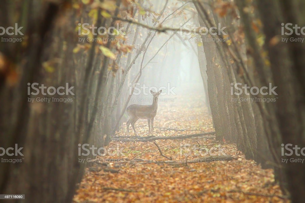 fallow deer in misty forest stock photo