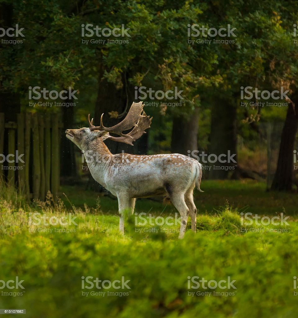 Fallow Deer in park with beautiful light. stock photo