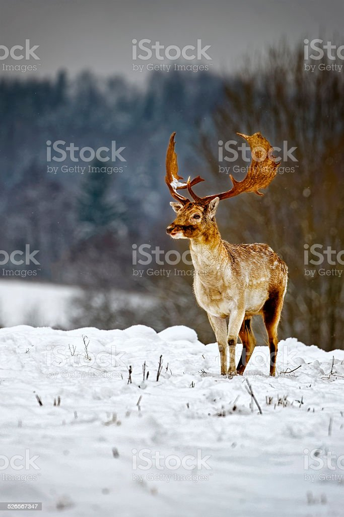Fallow deer in winter snow field stock photo