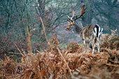 Fallow Deer Knowle Park Sevenoaks Kent