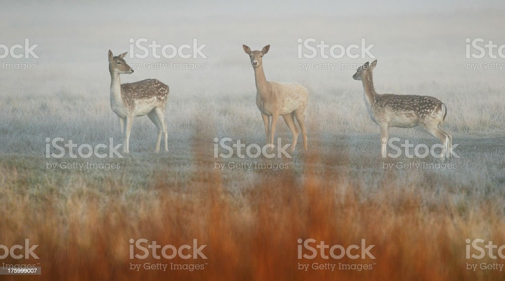 Fallow Deer on a misty morning royalty-free stock photo