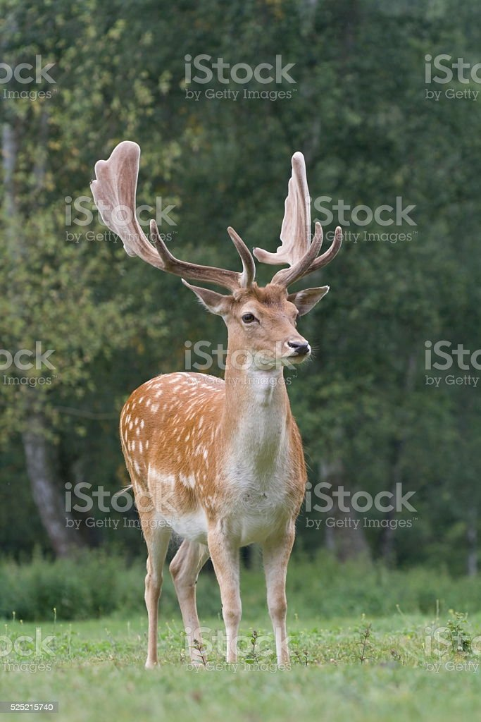 fallow deer on the meadow in the rain stock photo