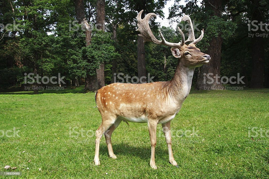 fallow deer stock photo