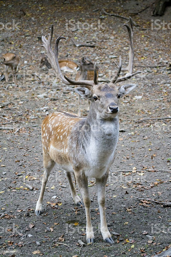 fallow deer royalty-free stock photo