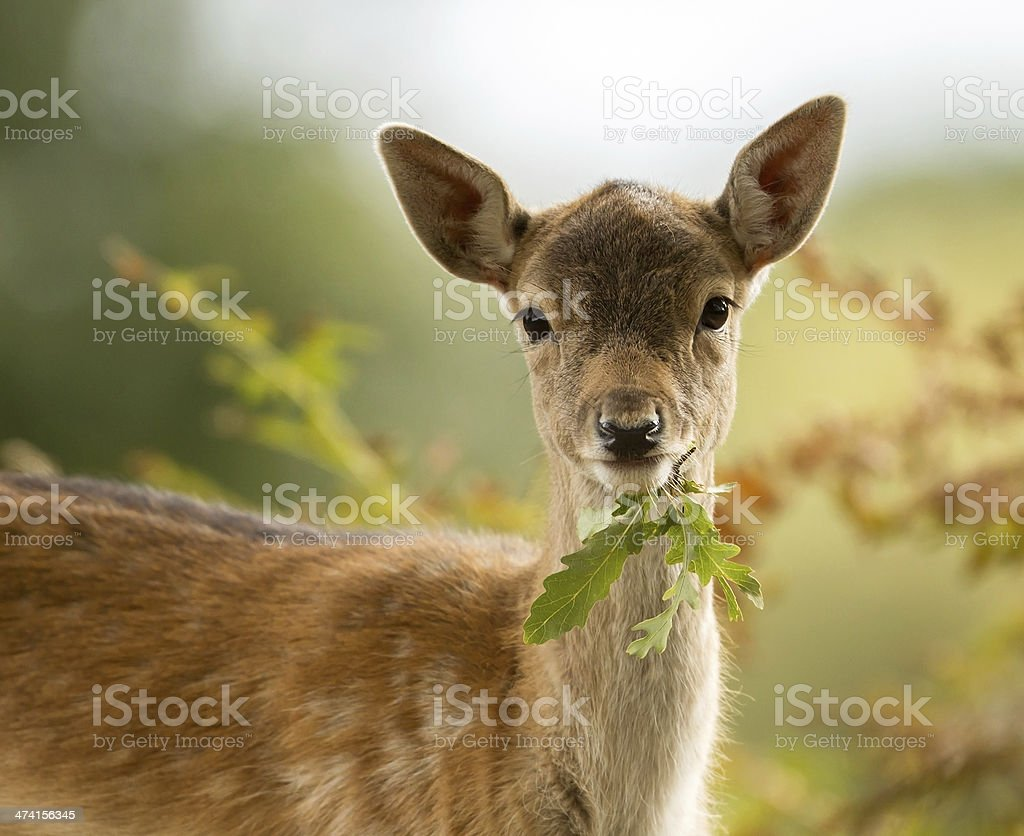 Fallow deer (Dama dama) stock photo