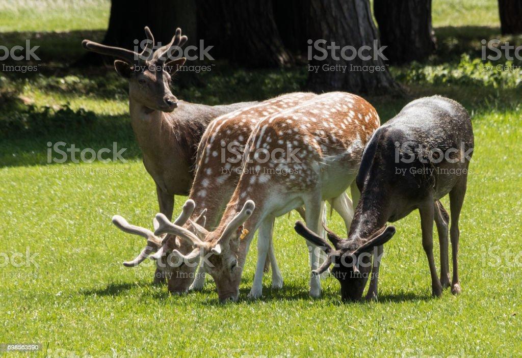 Fallow Deer stock photo
