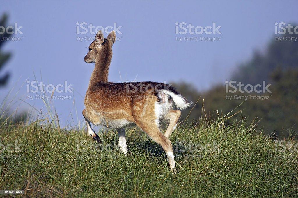 fallow deer running royalty-free stock photo